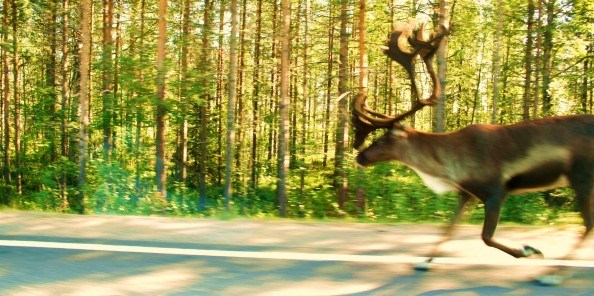 Lapland2009_rendier